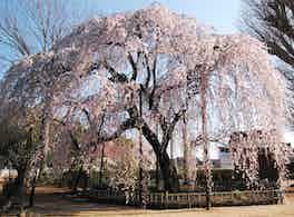 櫻乃丘聖地霊園 枝垂れ桜