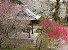 法巌寺 のうこつぼ 桜