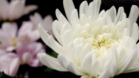 お墓参り花 菊