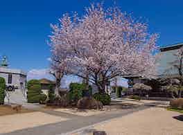 浄安寺墓苑 永代供養墓・樹木葬 桜